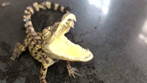 开箱一只小鳄鱼,用来泡酒不错,但是不建议养殖,养大了咬人