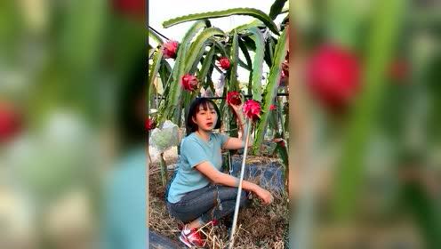 原来火龙果是这样长的,我还还以为是长在树上的