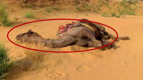为什么沙漠中渴死的骆驼不能碰?当地人警告,碰了后悔一生