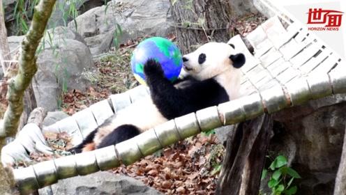 旅美大熊猫贝贝即将回国 美国夫妇不舍送别:它让我们走到了一起