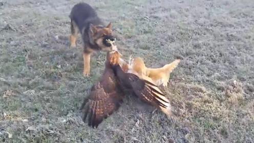 猫头鹰被老鹰攻击,地上狗狗看不惯了,冲上去就是一口