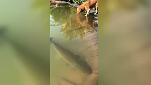 大鱼看起来很安静,把小鱼扔下去后,这也太凶猛了吧!