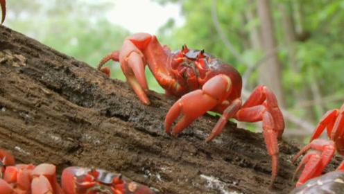 """中国螃蟹""""水深火热"""",澳洲螃蟹""""专人服务"""",都是螃蟹命真苦!"""