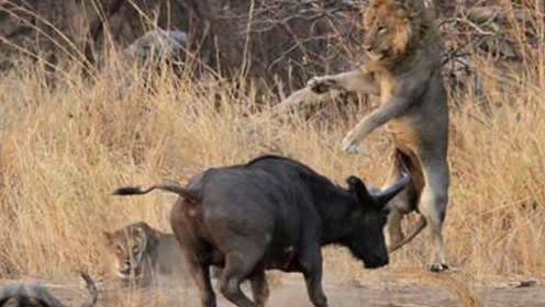 水牛大战雄狮,把狮子打的奄奄一息,镜头记录下全过程