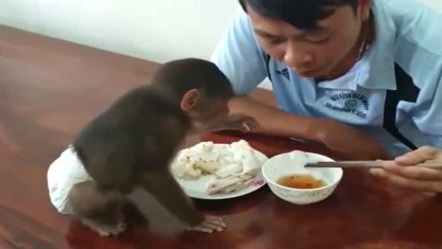 小猴子跟主人一起吃饭,主人没给它吃,绝不自己伸手去拿,真乖