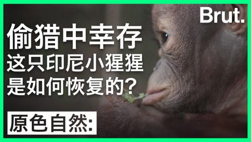 在偷猎中幸存的印尼小猩猩,这样被救活