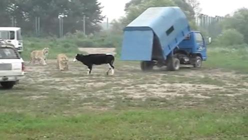 1头活牛喂12只东北虎,打开车门的那一刻,场面太壮观了