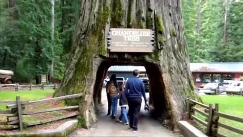 """千年古树被掏空,变身""""隧道树"""",130年后轰然倒下"""