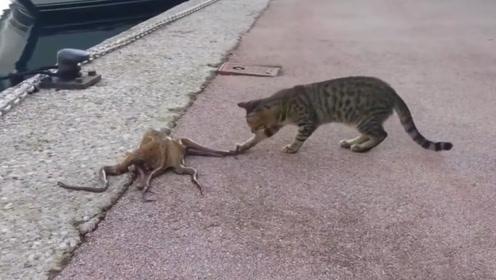 当章鱼遇上猫咪,它们之间会产生什么火花?章鱼:我得赶紧溜了