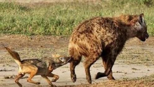 """5头胡狼使用""""掏肛术""""追杀鬣狗,鬣狗被掏的生不如死,真是报应"""