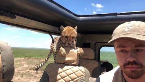 小哥自驾游忘记关车窗,一头花豹钻了进来,吓得小哥不敢动