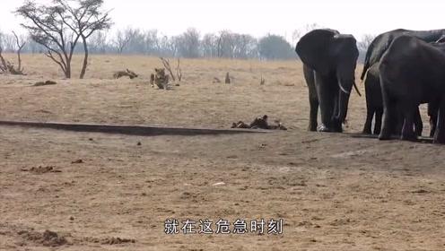 调皮小象不慎掉入水槽出不来,身边狮群虎视眈眈,危急时刻母象来解救
