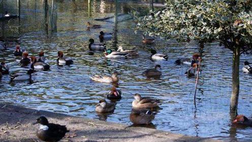 """鸭子和鹅因""""嘎嘎叫""""被告上法庭 最终鸭子胜诉"""