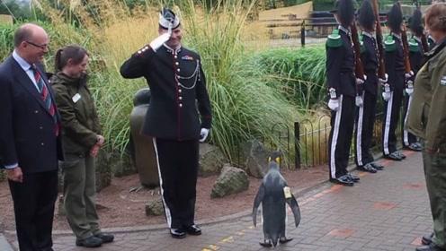 """世界上最牛的企鹅,军官见了也要敬礼,还真会摆""""臭架子"""""""