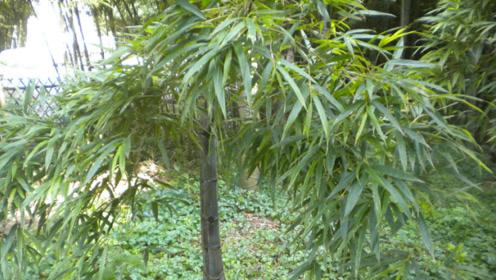 """这种竹子被称为""""天价竹"""",一棵就能卖10万,贵就贵在这一点!"""