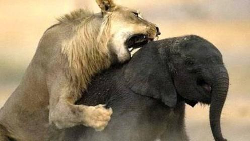 大象被狮子咬住脸,趁狮子体力不支,用象牙顶翻狮子,下场可惨了