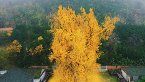 李世民曾亲手种下一棵银杏树,1400后的今天,依旧美的一塌糊涂