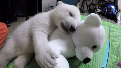 可怜的北极熊宝宝,出生6天妈妈就离开了,依靠一只玩具成功长大