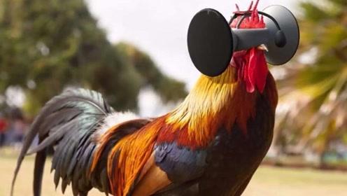 美国人给鸡戴上VR眼镜 据说能让鸡肉更美味