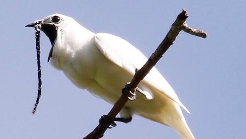 它是世界上最吵的鸟,叫声音量堪比飞机!