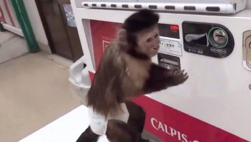猴子用自动贩卖机贼溜,投币,选商品,开盖,喝完一气呵成!