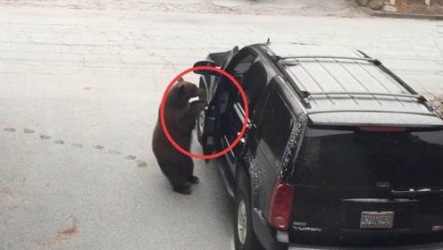 好恐怖!一只熊默默走近一辆停着的车 熟练打开车门坐进去了……