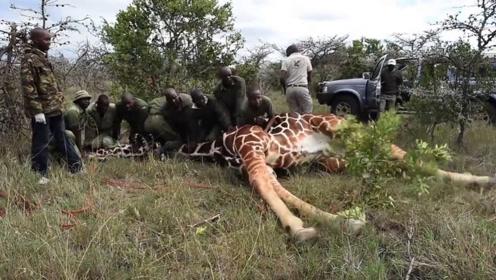 长颈鹿被困,10名男子合力才将其救下,镜头记录精彩瞬间