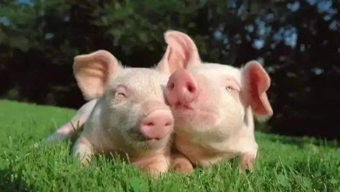 猪瘟疫苗重大突破,二师兄有救了!