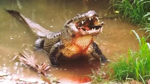 世界上最大的鳄鱼:湾鳄,假慈悲的鳄鱼会流泪