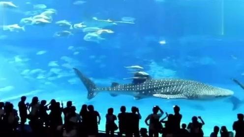 水族馆中一条剑鱼,突然冲向玻璃撞死自己,为什么要这么做?