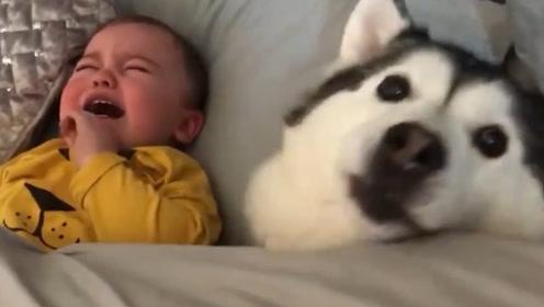 二哈趁大人不注意,偷偷溜进小宝宝的被窝,不料镜头拍下搞笑瞬间