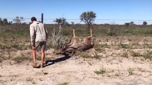 野羚羊被铁丝束缚,小哥上前大胆营救,刚脱身的羚羊瞬间爆发