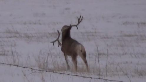 傻鹿在雪地里蹦跶,太高兴把角蹦断了?傻鹿来了脾气做出彪悍举动