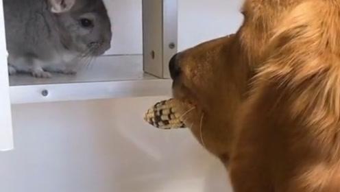 狗狗拿玉米给龙猫吃,龙猫却丝毫不领情,镜头记录爆笑时刻