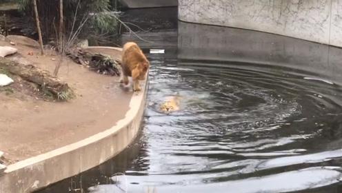 狮子走路发呆,结果一头扎进水里,这么多人看着脸丢尽了