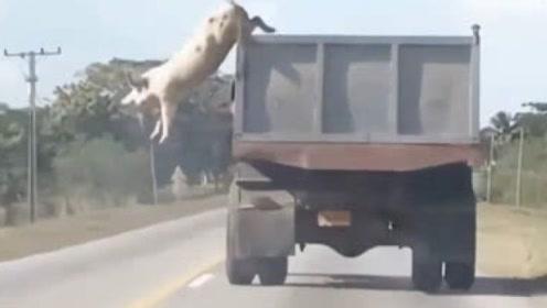 母猪从卡车上跳下,猪算不如天算,直接摔了个猪啃泥