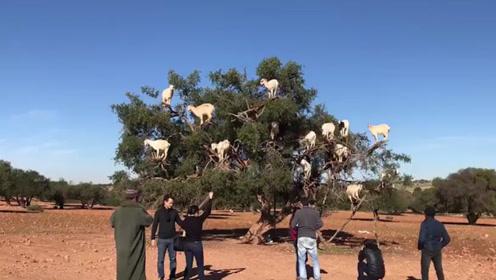 这年头为了混一口饭吃,连羊都会上树了!简直刷新了我的认知!