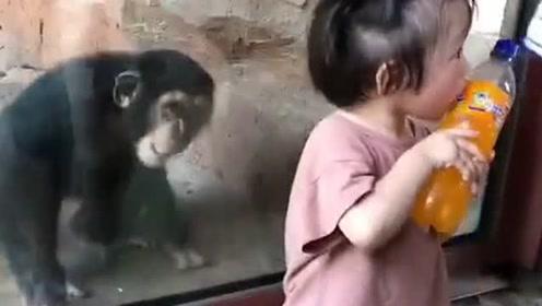里面的大猩猩看见小姑娘喝饮料,气的却踹玻璃,真是好可爱啊!