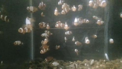 小丑鱼繁育场,一条条小鱼苗都是钱!