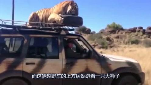 本来想近距离看看老虎,哪成想老虎直接跳上了汽车