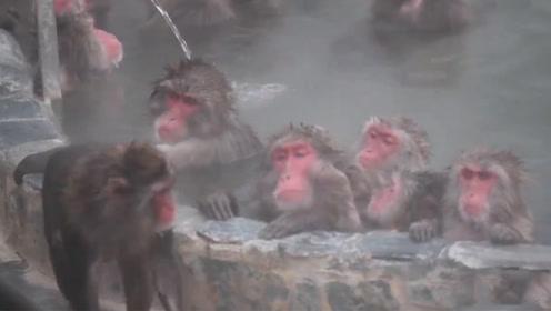 猴子跳进温泉池避寒 憨态可掬的样子引大量游客围观