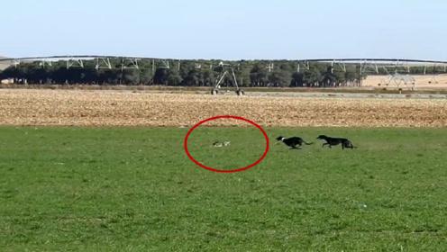 """2只猎犬疯狂追野兔,半天没追上,被耍得""""怀疑狗生"""""""