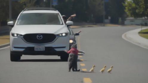 黑豹警长再现!猫咪学交警举起手拦住车,让小鸭子过马路,厉害了