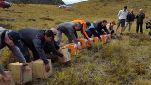 灭绝50年的鸡再次被发现,政府迅速画出5万公顷保护区!