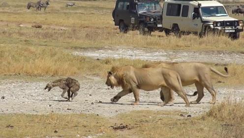 """狮子咬掉鬣狗后腿后,却不吃,不停对其进行精神""""折磨"""""""
