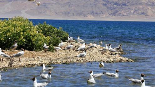 印度人无法相信,班公湖在中国一侧青草郁郁,印度一侧寸草不生!