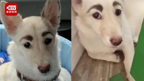真不是画的!俄罗斯人面狗走红:天生长像人一样的粗眉毛