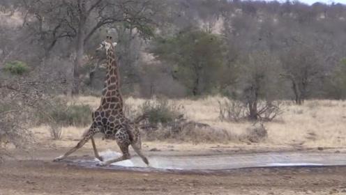 长颈鹿在水边喝水,准备离开时却倒在地上,镜头记录搞笑全过程