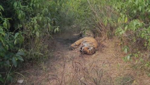 野外发现一只老虎,躺在地上一动不动,死因居然是这样