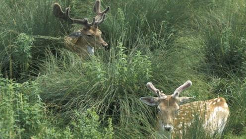 雄鹿试图与母鹿热情互动,结果母鹿不堪重负鹿头掉落,雄鹿吓懵了